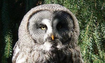 New Owl Subspecies Found in Yosemite