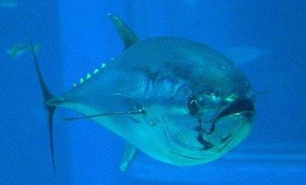 Bluefin Tuna To Be Reviewed for Endangered Status