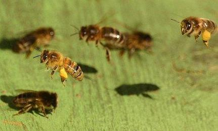 EPA Memo Shows Pesticide Harms Bees