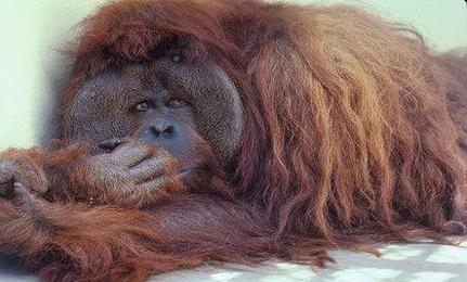 600 Orangutans to Be Set Free