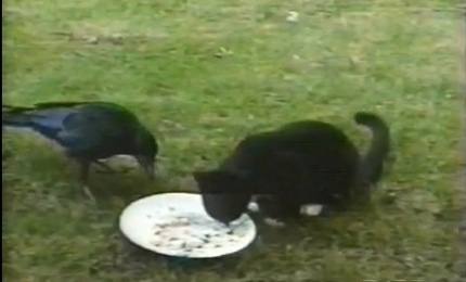 Amazing Crow Cares For Kitten (Video)