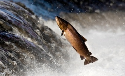 New Frankensalmon May Invade U.S.