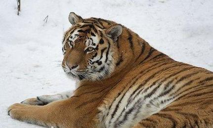 Endangered Tigers Could Return to Kazakhstan