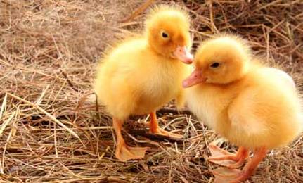 look at these cute baby chicks but don t buy them care2 healthy
