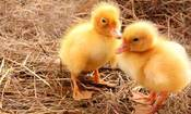 Look At These Cute Baby Chicks! (But Don't Buy Them)