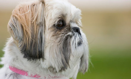 Pets Banned in Home Depot after Shih Tzu Accident