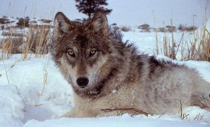 Yellowstone Wolves Worth $35 Million a Year