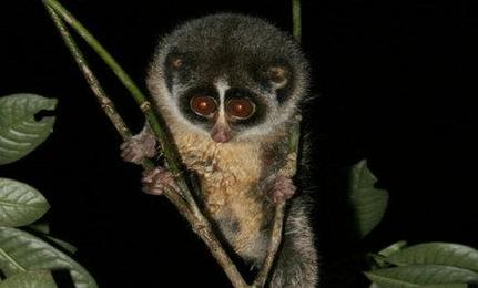 Nearly Extinct Loris Needs New Trees to Survive