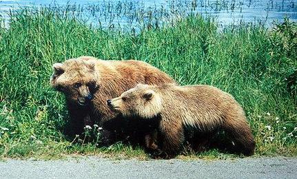 Yellowstone Bear Tragedy