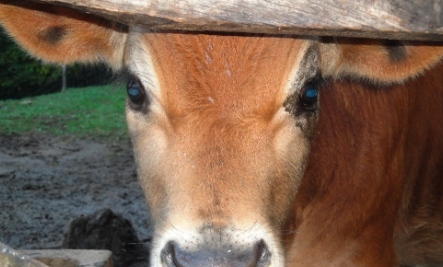 Bruno: A New Perspective on Happy Cows