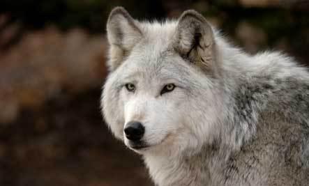 Dogs Facing Extinction 6 Species Facing Extinction