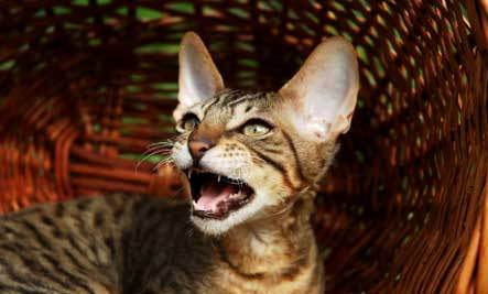 Why Do Cats Howl When They Get Older? - Atheist Universe