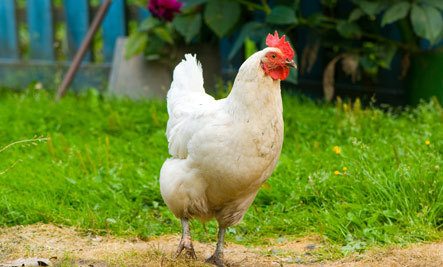 A Cool Tool for Choosing Backyard Chicken Breeds