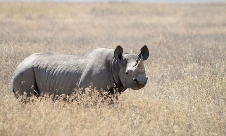 Another Rhino Population Goes Extinct