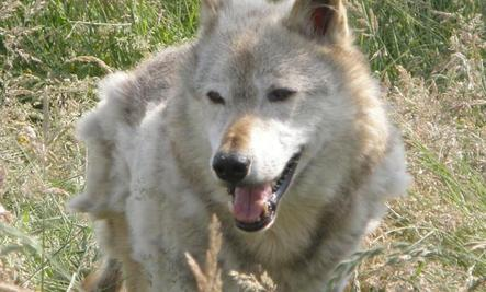 Wolves in California?