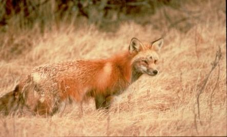 Fox Could be on Endangered List