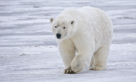 Polar Bear Pelts for $1750, Says Gov't