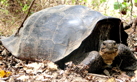 'Extinct' Tortoise Discovered Living 200 Miles From Home
