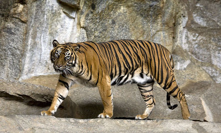 Endangered Tigers to Get $33 Million