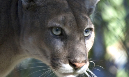 Florida Panther Births Greater than Deaths