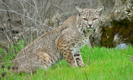Bobcat Rescued by Family, Police and Center