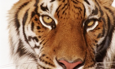 big cat quiz tigers lions cheetahs and more care2 healthy living