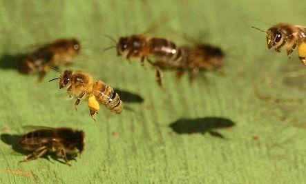 5,000 Honey Bees Stolen