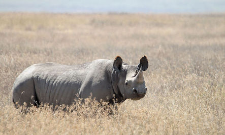 135 Rhinos Lost in South Africa