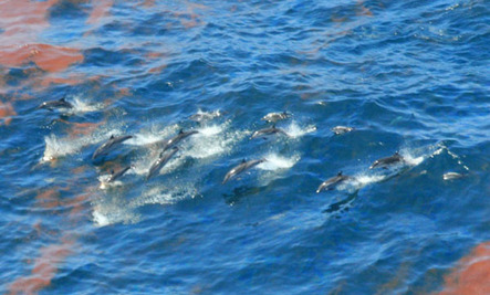 Over 675 Gulf Dolphins Stranded Since 2010