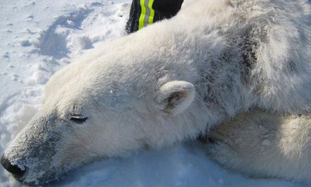 Polar Bears Experiencing Skin Lesions and Hair Loss