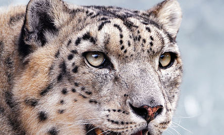 Snow Leopard Shot by Villagers
