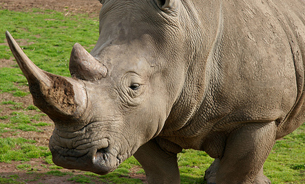 Rhino Poaching Threatens South Africa's Game Farms