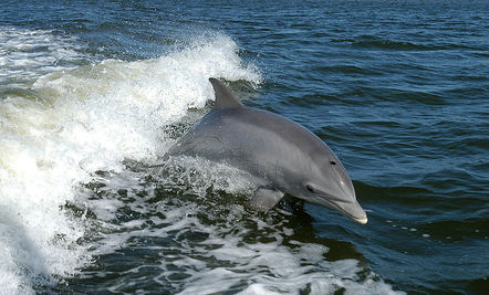 Dolphins Help Fisherman Catch Fish