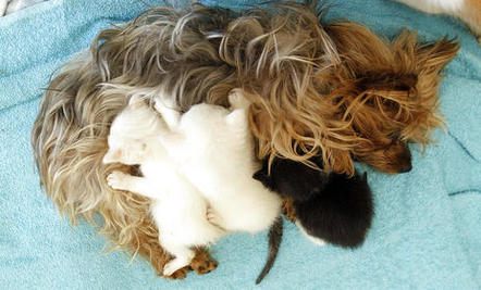 Yorkie Adopts Orphaned Kittens