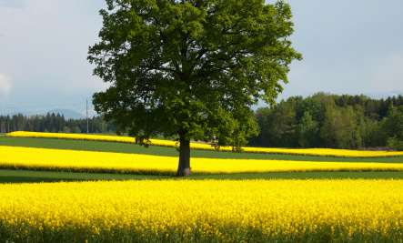 GMO Canola Growing Wild in Switzerland