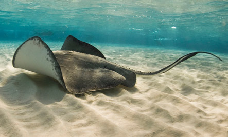 Stingrays to be Slaughtered for Shoes