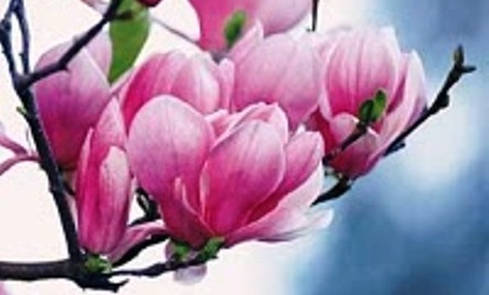 Magnolias Flowers Of Divine Beauty Life Force And Perfection