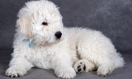 10 Rarest Dog Breeds
