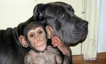 Orphaned Baby Chimp Adopted by Dog (Photos)