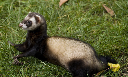 Ferret Odors 101: A Guide for New Ferret Owners