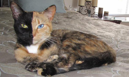 Venus The Beautiful TwoFaced Cat Photos Care Healthy Living - Venus two faced cat