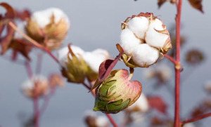 The Dirty Side of Cotton