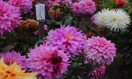 Caring for Dahlias in the Colder Months