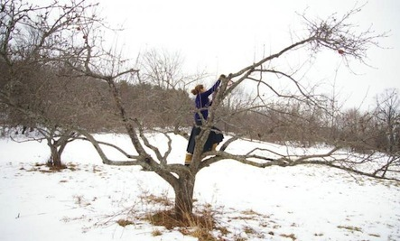 How to prune mature apple trees