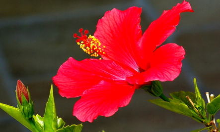 Hibiscus Tea The Best Beverage Care2 Healthy Living