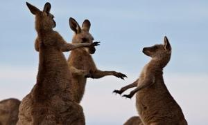 5 Aussie Animals Caught Dancing (Gallery)