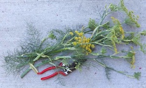 Delicious Ways to Use Wild Fennel