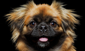 6 Declining Dog Breeds (Slideshow)