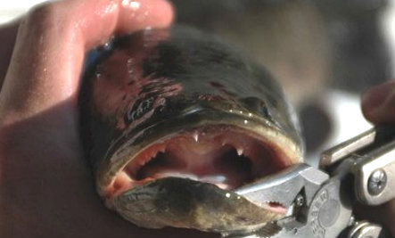 Snakehead 'Monster' Fish Invades NYC