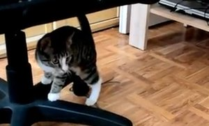Bouncing Kitten Battles Two Mirrors (Video)